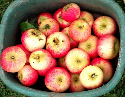 apples-stock_zpsbxn7bjss